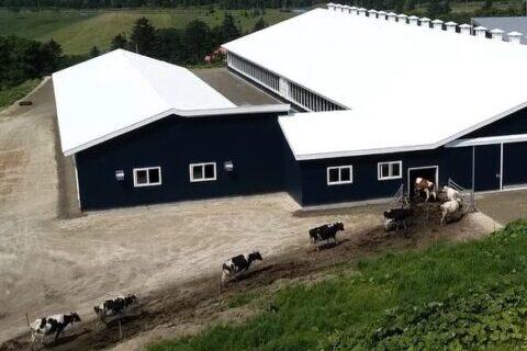 搾乳の時間には、牛が自ら牛舎に戻ってきます
