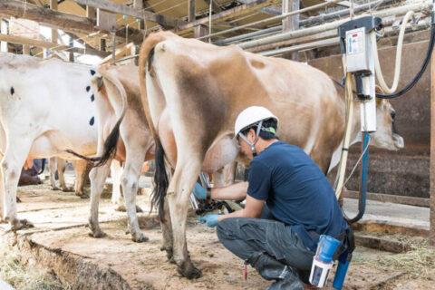 1頭1頭の健康状態を見ながら搾乳を行います。
