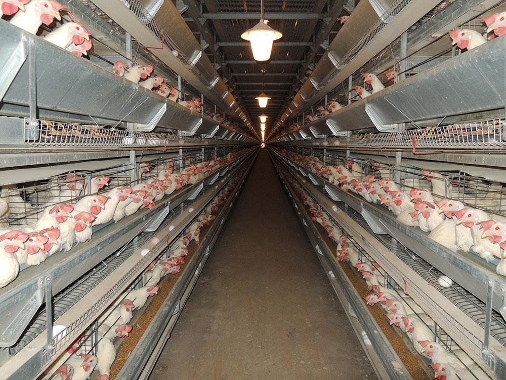 日本の採卵用鶏舎の約92%※がケージ飼い。鶏の自由を奪っています