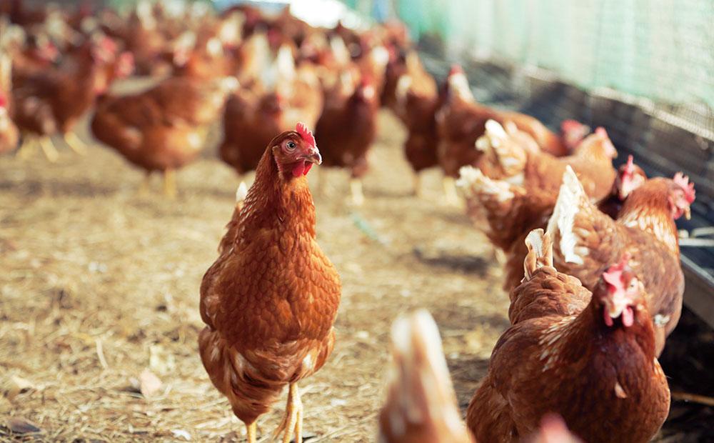 健康な卵は、健康な鶏から生まれます