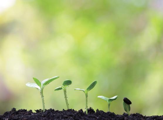ワタミファームで緑肥として使われるひまわりの芽生えの様子。